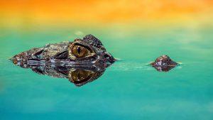 (c)Pixabay sko1970 crocodile