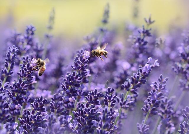 (c)pixabay castleguard lavender