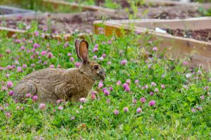 (c)pixabay rabbit
