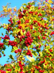 (c)Hans berries