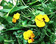 grüne Kräuter